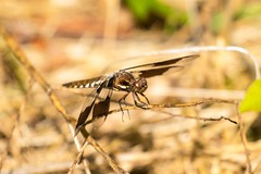 7K8A4674 (rpealit) Tags: male nature creek scenery dragonfly wildlife blair immature common preserve whitetail