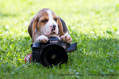 little photographer (mario forcherio) Tags: dog pet beagle canon puppy photographer dogphotographer