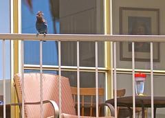 I want some food too! . (ikan1711) Tags: bird birds balcony bluejays railings smallbirds allanimals birdsofafeather birdwatch stellersjay smallanimals allbirds birdsofbc lovelybirds birdsonbalconies