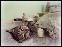 Que difcil es la vida de gato (MaPeV) Tags: cats canon chats chat tabby kitty gatos powershot gato kawaii neko katze morris gatti felin gattoni gattini g16 tabbyspoted bellolindoguapetn