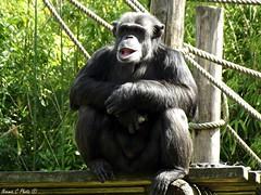 Zoo de la Flche - Chimpanz (Noemie.C Photo) Tags: chimpanz singe primate zoo lalfche france parc animal animaux nature sourire smile monkey plante plant arbre tree dents bouche poilu cut cute mignon vert green detail specific