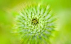 Pique et pique (christophe.laigle) Tags: flower macro green fleur fuji ngc vert npc chardon piquant xpro2