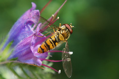 Hoverfly (na_photographs) Tags: insect insekt episyrphusbalteatus hainschwebfliege