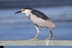 Black-crowned Night-Heron (Steve Huckabone) Tags: landing eden turk