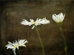 The temple bell stops but I still hear the sound coming out of the flowers. ~Basho (Nick Kenrick.) Tags: three daisy