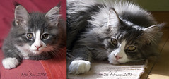 How the time flies... (oizys) Tags: cat chat natura mainecoon felino gatto animale morgana