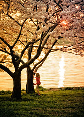 Cherry Blossom Sunset (Sky Noir) Tags: trees sunset usa sunlight flower sunshine festival japan kids river children cherry photography golden centennial dc washington spring warm day afternoon play cheery sundown blossom unitedstatesofamerica blossoms peak basin national bloom  potomac sakura late 1912 tidal 2012   skynoir