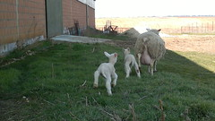 Corderos y Oveja