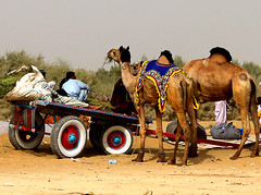 Newly wed camel cart family getting ready to leave for home .. (S M JOYIA) Tags: pakistan horse festival youth children fun dance women desert transport culture donkey snack punjab mella horsecart horsepower donkeycart manpower camelcart cholistan rohi colorsofpakistan chananpeer snackcharmer interestingsandcamel vehiclewheels danceondrumbeat