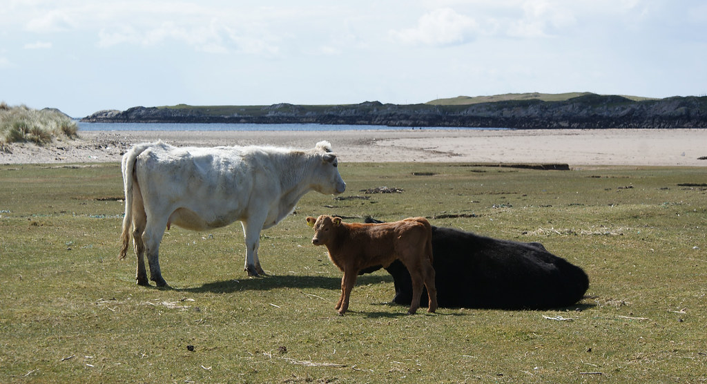 Cows on the beach, Coll