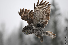 Great Gray Owl DSC_5943 (Ron Kube Photography) Tags: canada bird nature birds fauna nikon alberta owl greatgrayowl ornithology owls greatgray strixnebulosa southernalberta specanimal d300s globalbirdtrekkers ronaldok nikond300s ronkubephotography