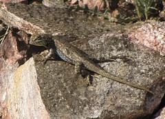 Eastern Fence Lizard (HeidiG71) Tags: nature colorado reptile wildlife lizard sceloporusundulatus cañoncity easternfencelizard tunneldrive