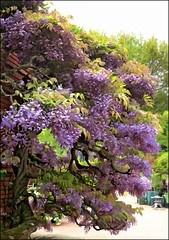 mother wisteria (Sunnyvaledave) Tags: gardens wisteria filoli photopainting