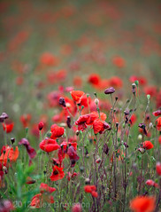 Saturate (Peter you've lost the news) Tags: red color colour vibrant poppy poppies