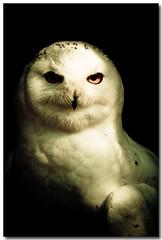 ow's portrait (sergio.pereira.gonzalez) Tags: naturaleza bird nature animal ow pajaro oiseau chouette buho canon400d sergiopereiragonzalez httpfocale3fr