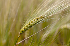 Ripening (MiFleur...Thanks for visiting!) Tags: food macro nature beautiful grass yellow closeup rural golden wheat cereal harvest rye agriculture abundance virgo mygearandme mygearandmepremium mygearandmebronze mygearandmesilver wwwmifleurdesigncom