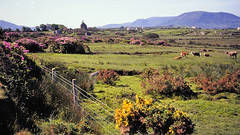 Ireland 1978 - County Mayo rural landscape with church (edk7) Tags: ireland house mountain flower building church landscape cattle farm slide eire mayo 1978 nikkormat ft2 m607 edk7