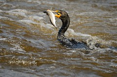 Cormorant fishing (cl.lin) Tags: bird nature river mississippi illinois fishing nikon midwest wildlife birding sigma iowa mississippiriver cormorant seabird potofgold d7000