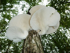 White fungus (AussieBotanist) Tags: white mushrooms polypores shelffungi whitegills gilledmushrooms