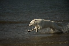Topi @ Texel Beach (consclau) Tags: white beach water netherlands shepherd texel topi highqualitydogs highqualityanimals