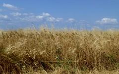 les blés (b.four) Tags: blé corn valensole alpesdehauteprovence coth rubyphotographer mygearandme ruby5 mygearandmepremium mygearandmebronze mygearandmesilver mygearandmegold ruby10