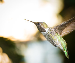 Hummingbird in Flight (absencesix) Tags: lighting usa detail home nature birds animals iso3200 washington backyard hummingbird unitedstates feathers july redmond northamerica birdsinflight locations 2012 songbirds 200mm frozenintime insignificance manualmode flashfired offcameraflash 70200mmf28 strobed englishhill geo:state=washington geo:city=redmond nostrobistinfo exif:iso_speed=3200 objectsthings hasmetastyletag hascameratype adjectivesfeelingdescription haslenstype camera:make=nikoncorporation exif:focal_length=200mm 1250secatf80 removedfromstrobistpool selfrating5stars seerule2 exif:make=nikoncorporation geo:countrys=usa exif:lens=7002000mmf28 exif:aperture=80 subjectdistanceunknown redmondwashingtonusa nikonsb910 nikond800e afsnikkor70200mmf28gvrii geo:lat=477206697 geo:lon=1221092737 474314n122633w exif:model=nikond800e camera:model=nikond800e july262012 hasflashtype