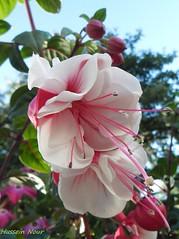 (Hussein Nour) Tags: flowers red summer white flower nature beautiful natur fine blomma blommor fint sommar   vr sommaren    naturen vacker biet