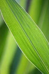 Elargir son champ... (NUMERIK33) Tags: green culture vert champ feuille maïs