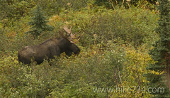 "Moose • <a style=""font-size:0.8em;"" href=""http://www.flickr.com/photos/63501323@N07/7712400710/"" target=""_blank"">View on Flickr</a>"