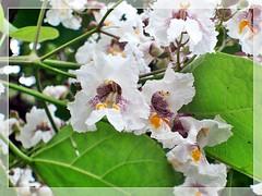 Wooden cigar's flower -Bakaszirvarfa virága exploredAug 8, 2012 #155 (Katalin Réz) Tags: concordians thebestofday gününeniyisi sognidreams fleursetpaysages virgiliocompany lovelymotherearth
