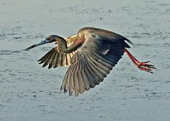 Air Hug (seddeg ~) Tags: bird heron hug florida air flight feathers breeding wingspan fortdesoto tricoloredheron egrettatricolor plumage wadingbird tricolored img14341256