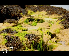 Algues marines (C.-04) Tags: sky beach water canon eos sand rocks eau sable ciel algae 450 plage rochers algues hoedic