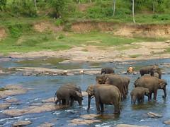Bathing at Pinnewala (ComradeCosmobot) Tags: elephant river fisherman sri