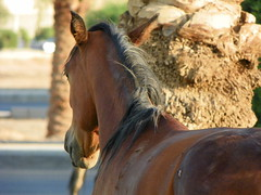 horse (Mamdouh almalki) Tags: horses horse arabian