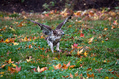 hawk-3930.jpg (HVargas) Tags: bird birds hawk wildlife aves falcon prey chickenhawk falconry redtailedhawk carnivoro harrishawk harrisshawk harlans gavilan ractor baywingedhawk duskyhawk ratonerodecolaroja gavilncolirrojo