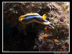 Apo Island - Sanctuary (CATDvd) Tags: philippines nudibranch sanctuary filipinas apoisland underwaterphotography fotosub chromodorisannae filipines nudibranquio catdvd nudibranqui davidcomas canonpowershotg10 august2012 httpwwwdavidcomasnet httpwwwflickrcomphotoscatdvd