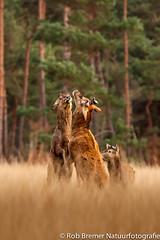 Red Deer / Herten NP Hoge Veluwe-6789 (rob.bremer) Tags: nature woods wildlife natuur bos reddeer hert cervuselaphus npdehogeveluwe