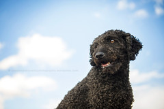 My sweet Apolo (alessandrafavetto) Tags: sky dog pet pets dogs horizontal outdoors dogphotography petphotography dogportrait spanishwaterdog pdae perrodeagua petphotographer dogphotographer perrodeaguaespaol