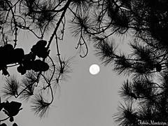 Anoitecer (Fbio & Carol) Tags: brazil blackandwhite bw tree field brasil rural countryside farm campo lua stio rvore galhos pretoebranco anoitecer fazenda amricadosul pinheiro monocromtico avarsp pinnus sonydsch55