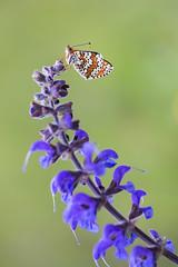 Wegerich-Scheckenfalter (Melitaea cinxia)_Q22A3836-BF (Bluesfreak) Tags: butterflies insekten taubertal schmetterlinge glanvillefritillary tagfalter melitaeacinxia wegerichscheckenfalter