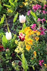 Sping Flowers (Karl's Photography) Tags: flowers flower spring tulips tulip