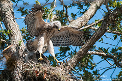 Whoo-Hoo, Flying By The Seat Of My Pantaloons (ac4photos.) Tags: bird nature animal nikon nest florida hawk wildlife young tamron naturephotography animalphotography birdphotography fledging rsh wildlifephotography redshoulderhawk juveniles d300s ac4photos