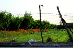 moment (Ramona Marotta) Tags: life flowers red italy white green bird me nature girl cat walking grey for other italian alone colours looking time ben photos being nowhere philosophy pic io thoughts momento goes while around moment colori gatto tempo pensieri rossi each kedi papaveri uccello ku sguardi attimo