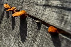 _DSC9803 (edu_420) Tags: textura gris madera diagonal naranja sombras linea hongos fuga