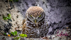 Burrowing Owl (lh24smile) Tags: owl fl grumpy burrowing tamarac
