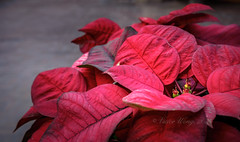 Poinsettia plant with red foliage (Victor Wong (sfe-co2)) Tags: christmas xmas winter red plant macro green nature floral leaves closeup festive season natural blossom traditional poinsettia seasonal decoration foliage bloom pulcherrima euphorbia merry tradition