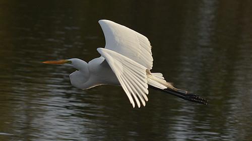 Snowy Egret Flying