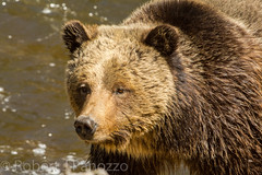 She's a looker (ChicagoBob46) Tags: bear yellowstonenationalpark yellowstone grizzly grizz grizzlybear
