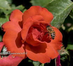 ATERRIZANDO 2 (Flamenco61) Tags: abejas naturaleza color macro rojo natural rosa avispas silvestre enfoque