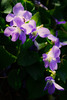 (Linford Hurst Photography) Tags: flowers plant green nature outdoors spring purple violet kitlens wildflowers fantasticflower canonrebelt3i efs1855mmf3556isii linfordhurst soccerditchflowers